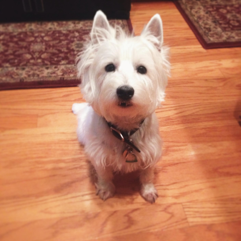 My Westie bestie, Gordo.